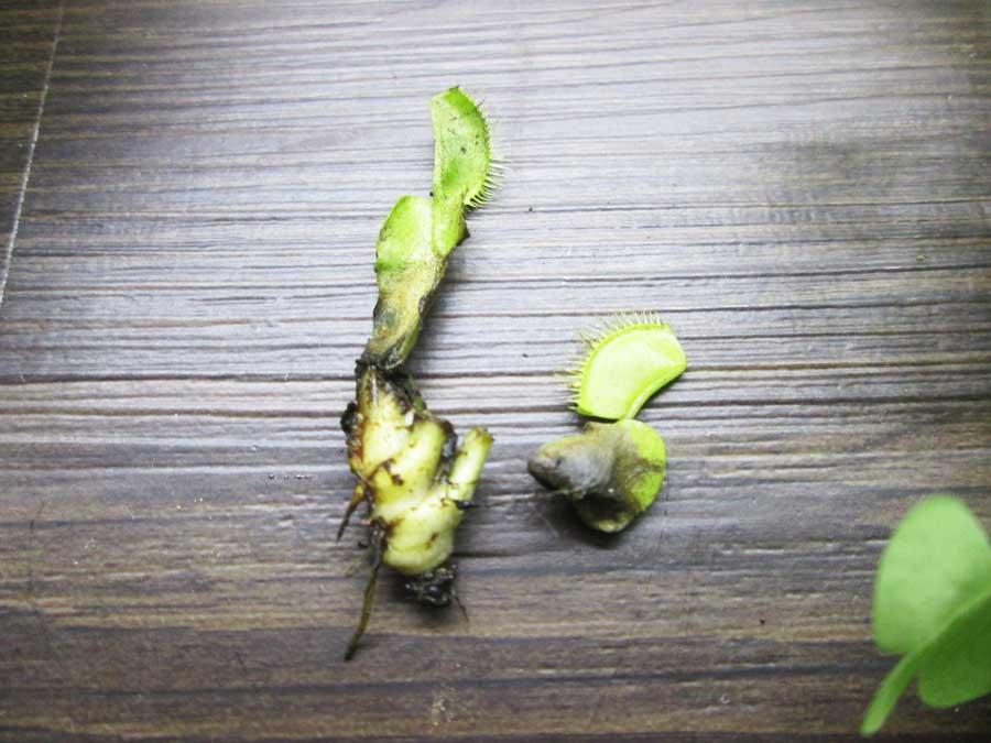 救出した葉と茎