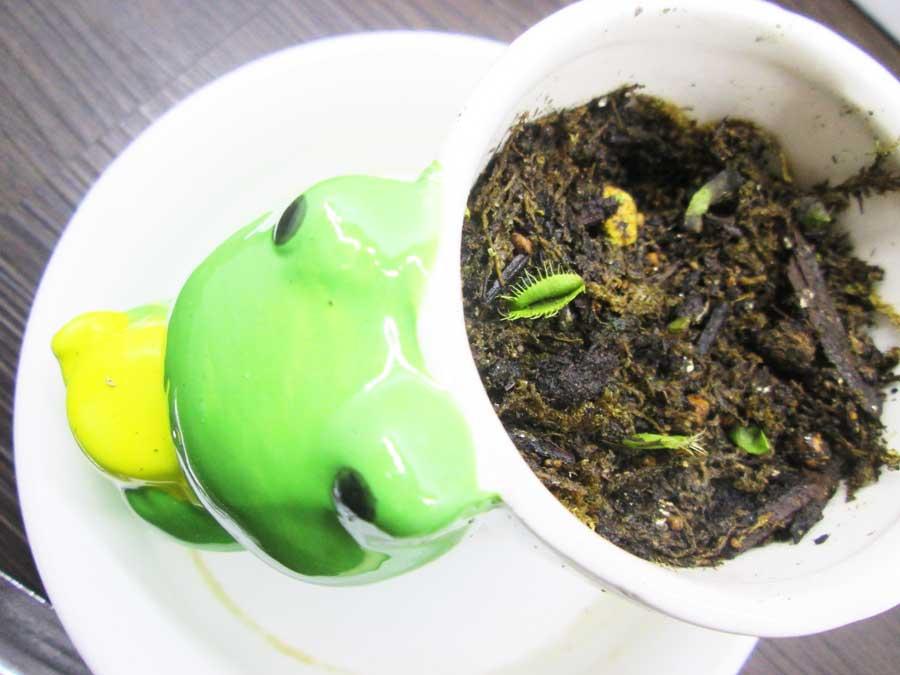 ハエトリソウ(ハエトリグサ)を植える2
