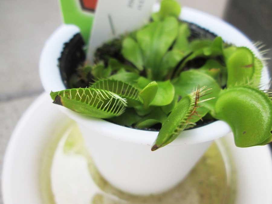 昆虫飼育用 粘着 コバエトラップ ハエトリ草2