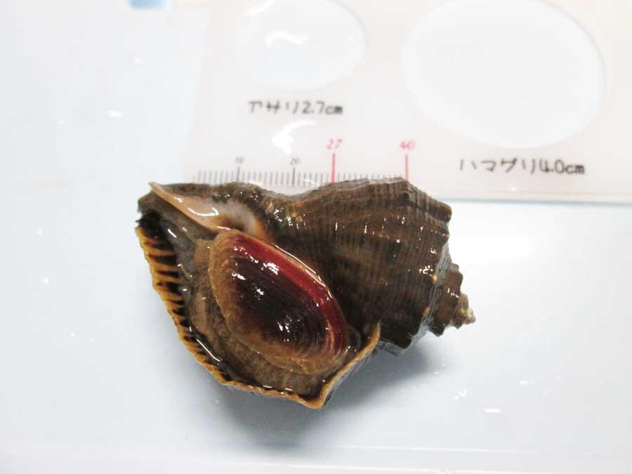 ダイソー 潮干狩り アカニシ貝