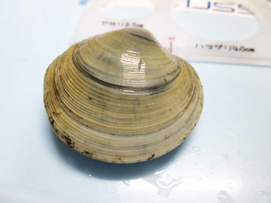 ダイソー 潮干狩り カガミ貝2